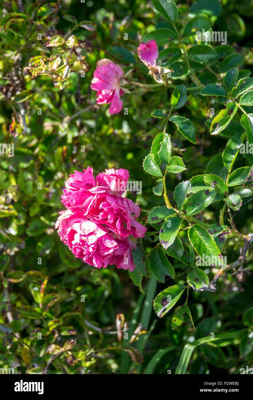 Rose with black spot disease growing at Tristan da Cunha, British Overseas Territories, South Atlantic Ocean - Stock Image
