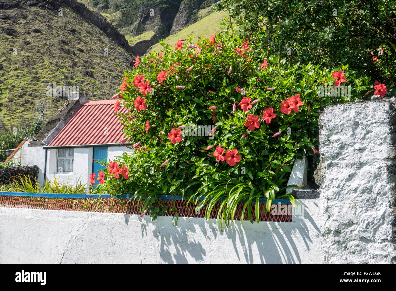 Hibiscus Flowers At Tristan Da Cunha British Overseas Territories