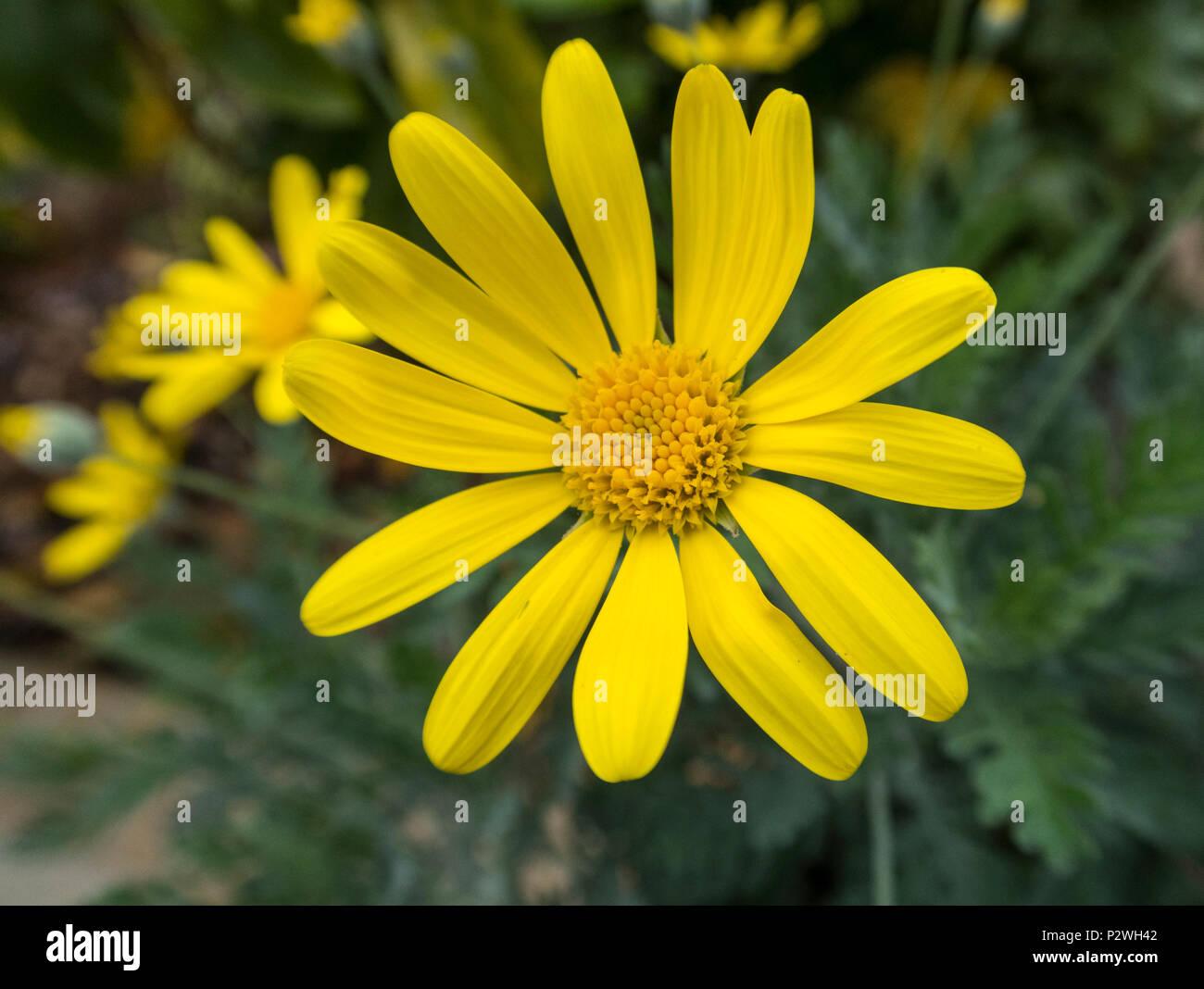 Euryops pectinatus, the grey-leaved euryops,yellow flowering aster, Asteraceae - Stock Image