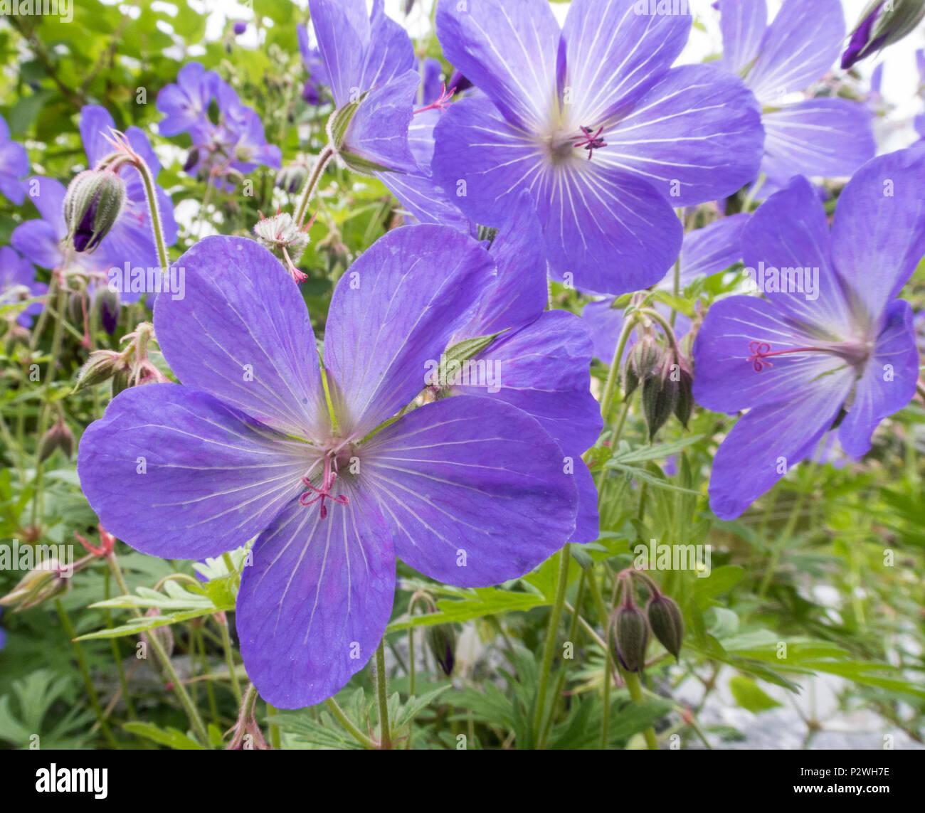 Geranium Johnson's Blue, cranesbill, flowering geranium, × johnsonii - Stock Image