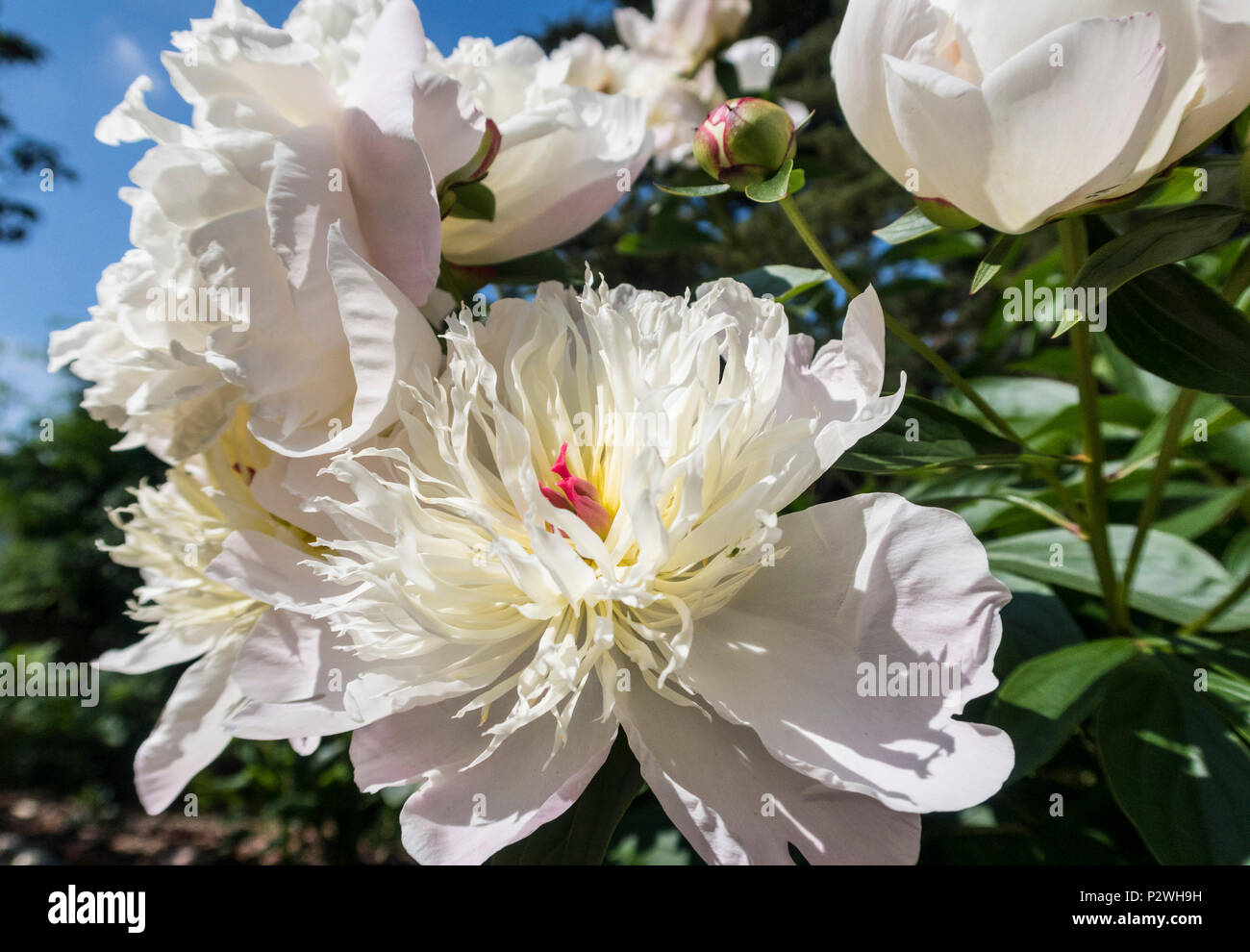 White highly scented and fragrant peony Duchesse de Nemours - Stock Image