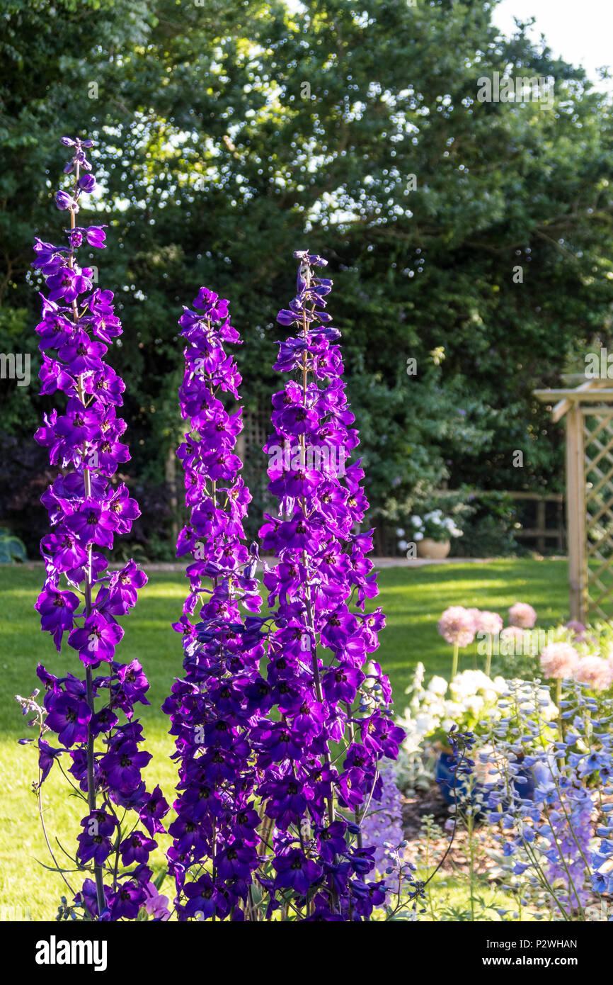 Tall spires of Delphinium Black Knight (pacific giant hybrid) in full flower in a Devon garden - Stock Image