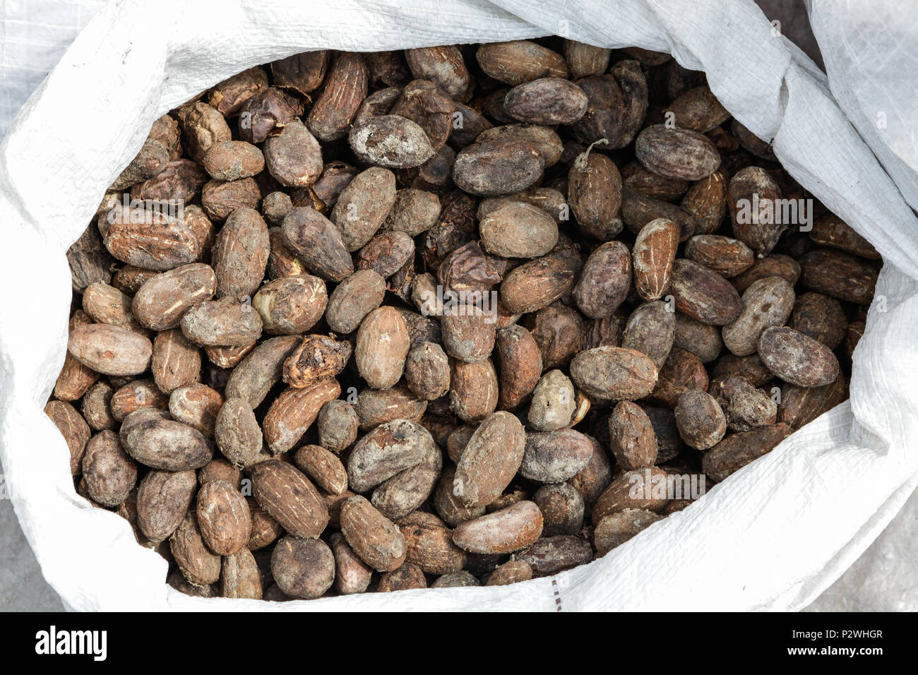 Close up of Bacuri-açu (Platonia Insignis) seeds, specie from Amazon rainforest, used for conservation purposes and in cosmetics industry. - Stock Image