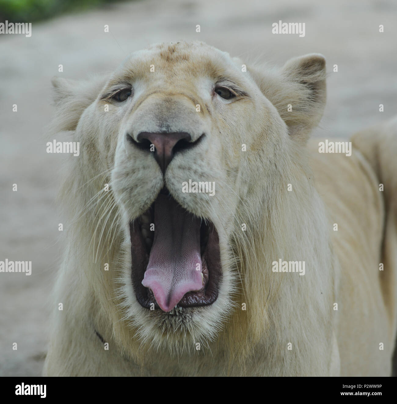 A white lion - Transvaal lion (Panthera leo krugeri) in the zoo. - Stock Image