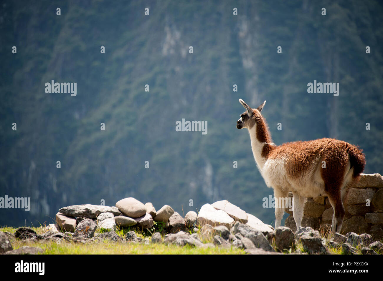 A Llama stands on the highest peak of Machu Picchu and looks across the valley - Stock Image
