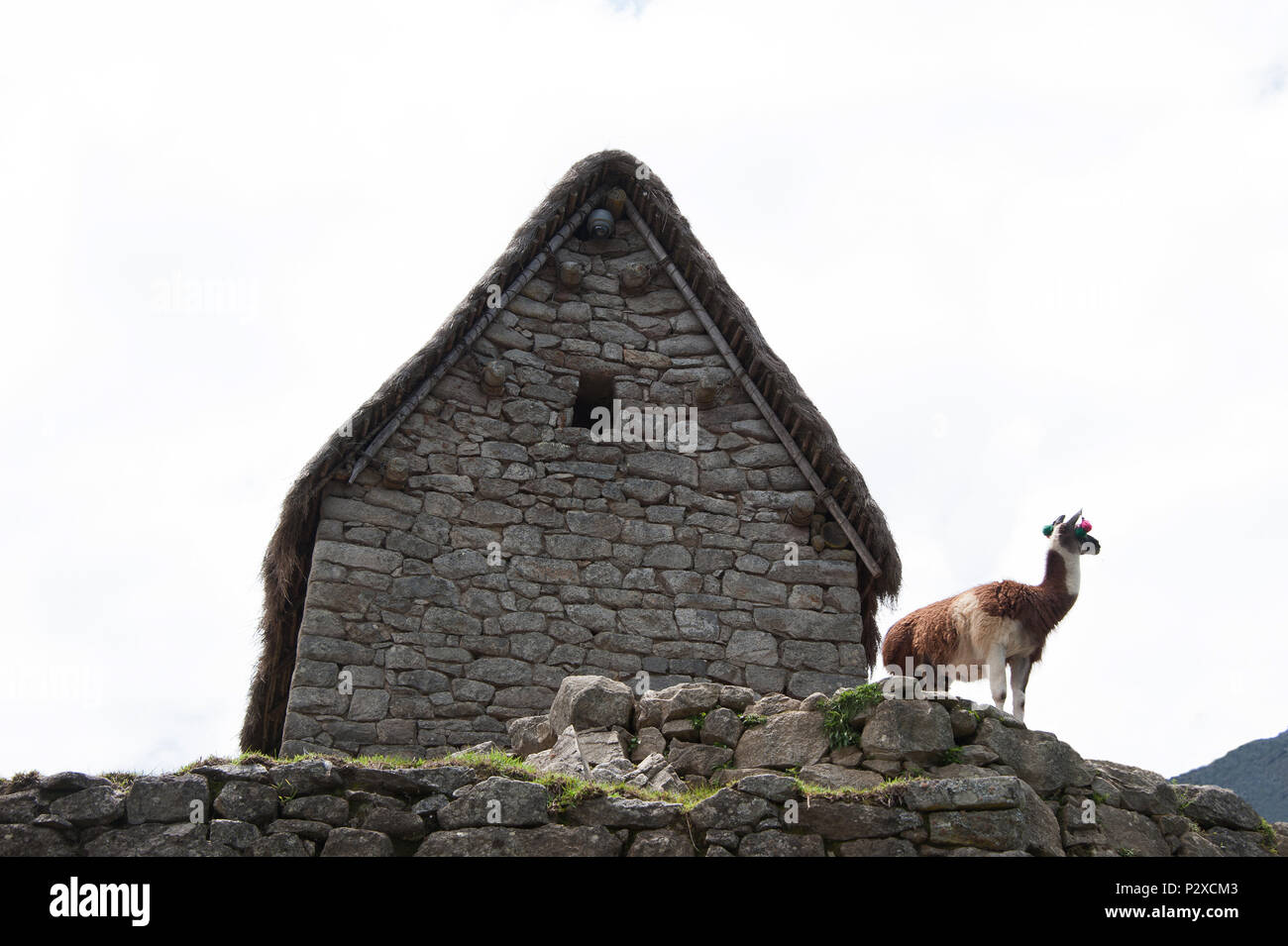 A Llama stands in front of an old building on the highest peak of Machu Picchu and looks across the valley - Stock Image