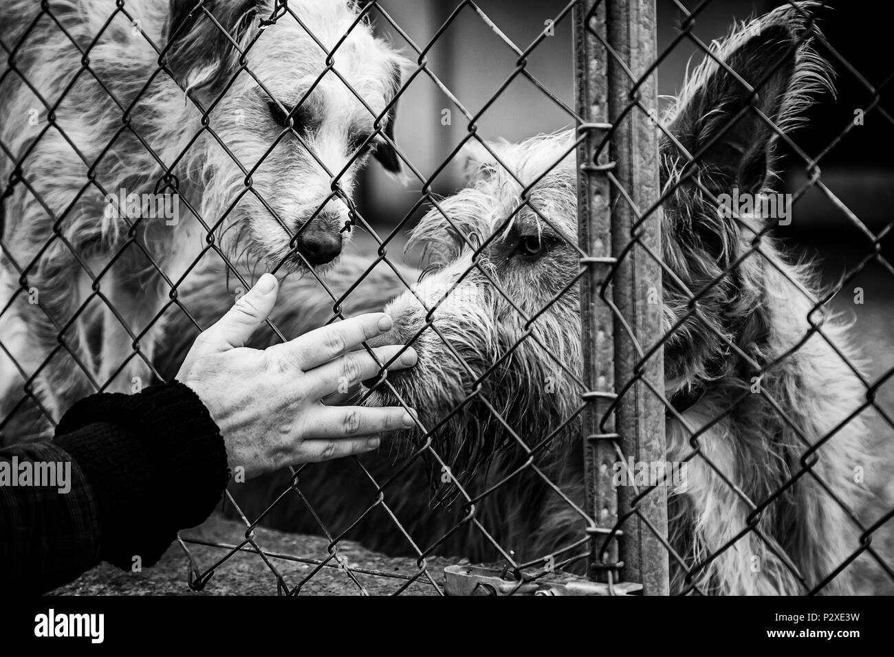 Woman petting stray dogs, kennel for stray animals - Stock Image