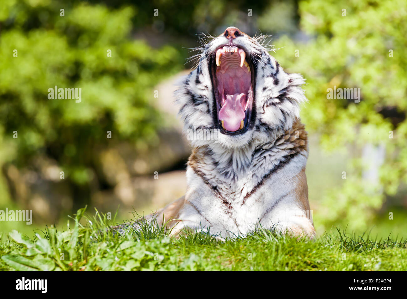 Amur, or Siberian Tiger, yawning in the afternoon sun. This endangered species is indigenous to far Eastern Russia. - Stock Image