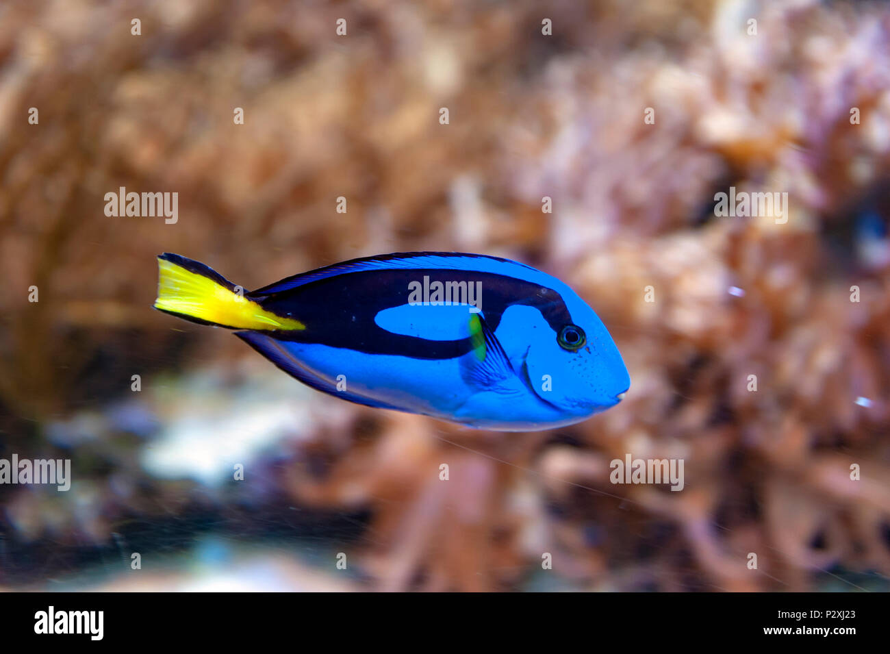 Regal blue tang, palette surgeonfish, or hippo tang, an Indo-Pacific surgeonfish of Paracanthurus hepatus species with bright blue color - Stock Image