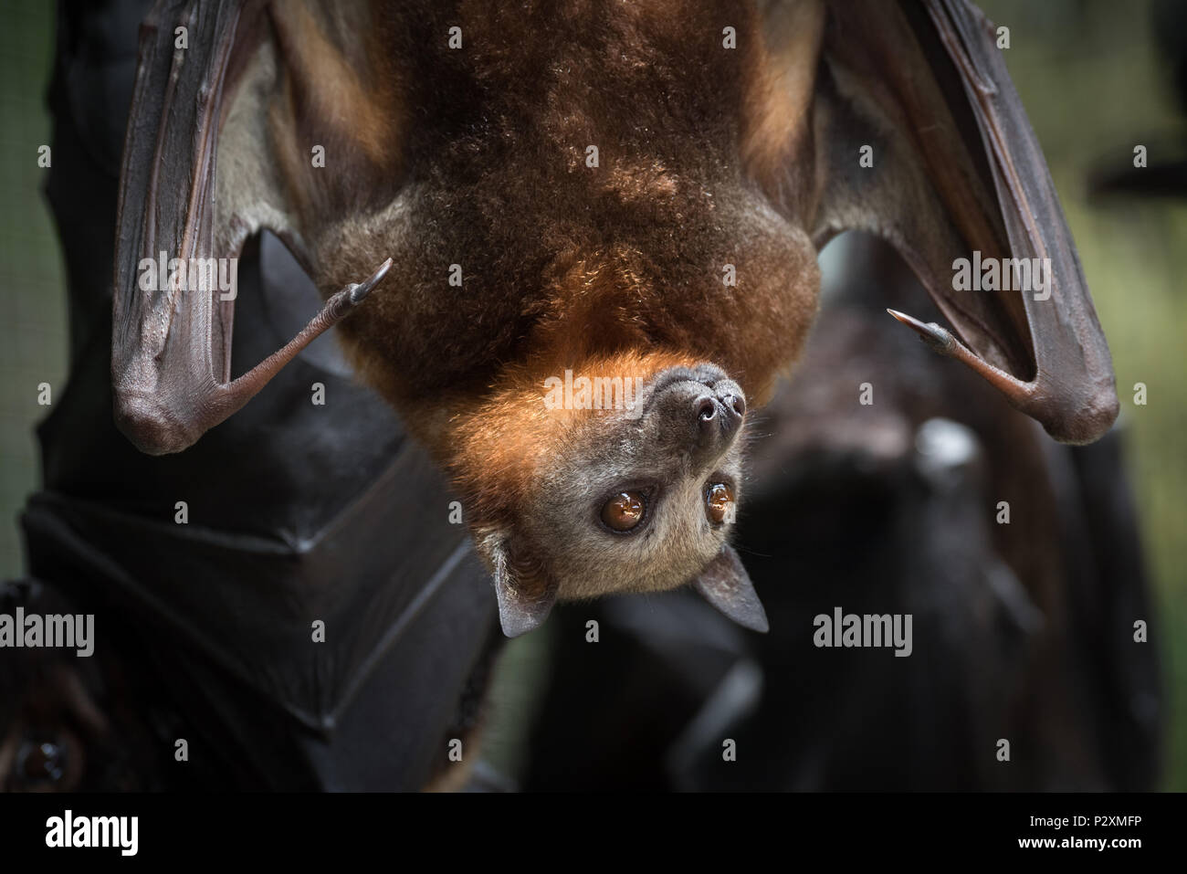 In Australia, flying foxes were rescued from hypothermia