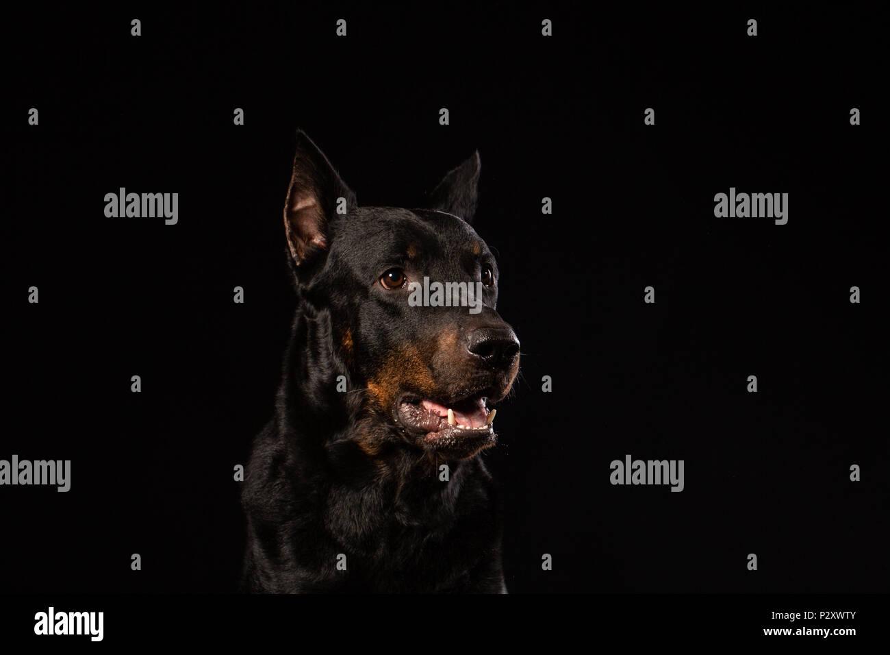 Portrait of beautiful black male doberman dog on black background. Copy space - Stock Image