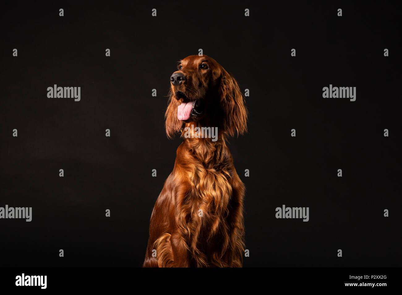 Portrait of Irish Setter dog isolated on black background Stock Photo