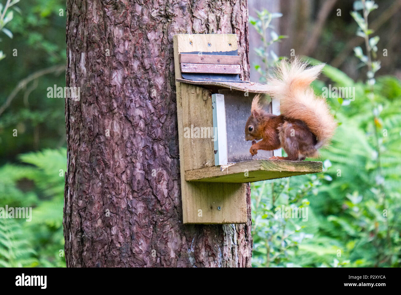 Red Squirrel at a feeder at Newborough Forest on Anglesey, Wales. It is  an important red squirrel conservation sight. - Stock Image