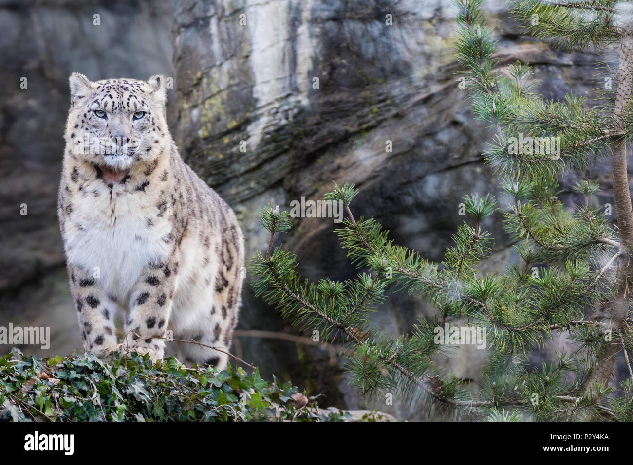 Adult snow leopard standing on rocky ledge Stock Photo