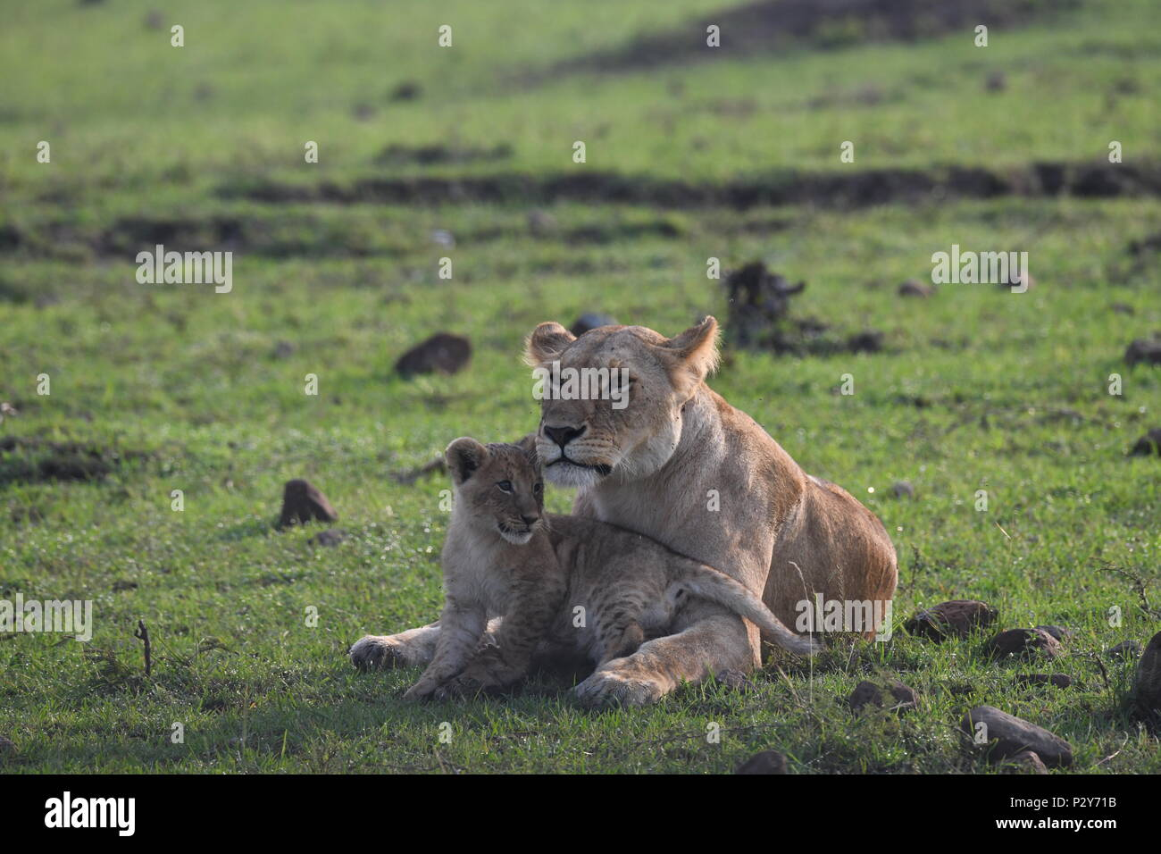 Lioness and cub resting on the Maasai Mara plains (Panthera leo). Kenyan Safari, picture taken in the Olare Motorogi Conservancy. Stock Photo