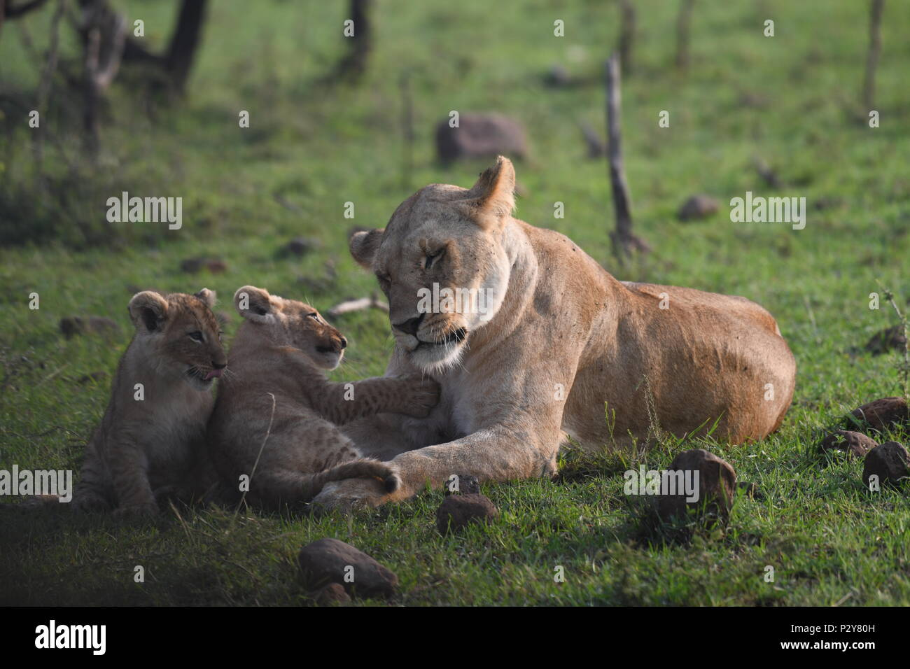 Lioness and cubs playing on the Maasai Mara plains (Panthera leo). Kenyan Safari, picture taken in the Olare Motorogi Conservancy. Stock Photo
