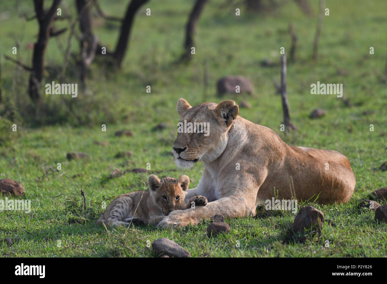 Lioness and cub resting on the Maasai Mara plains (Panthera leo). Kenyan Safari, picture taken in the Olare Motorogi Conservancy. Stock Photo
