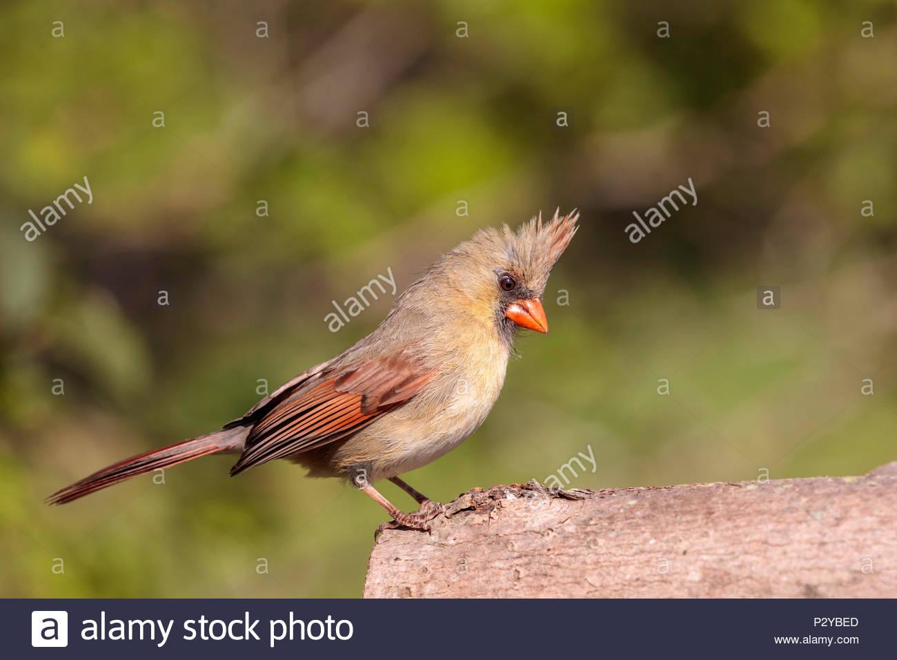 Northern Cardinal Cardinalis cardinalis female Stock Photo