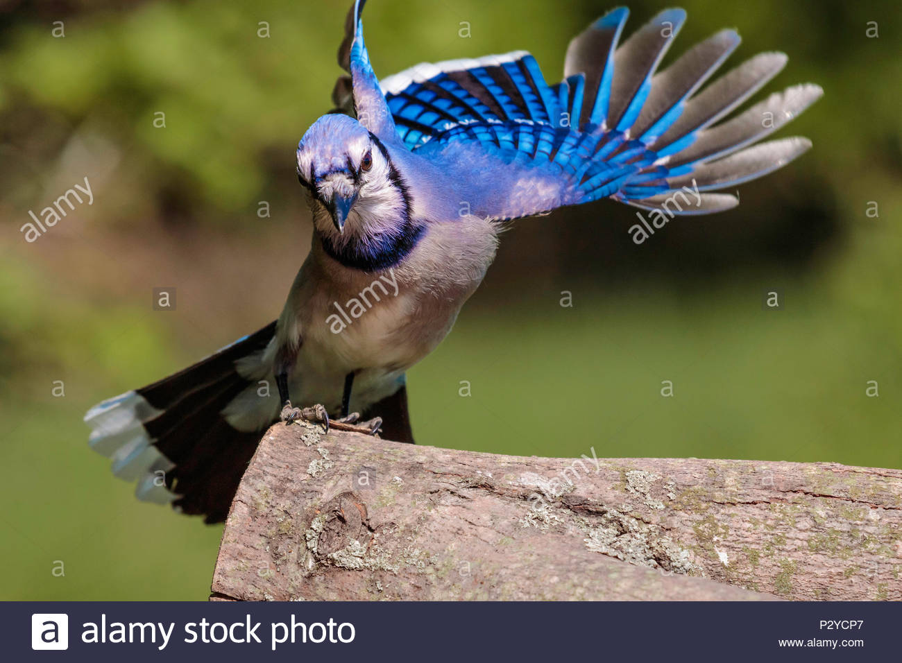 Blue jay Cyanocitta cristata landing showing structural coloration - Stock Image