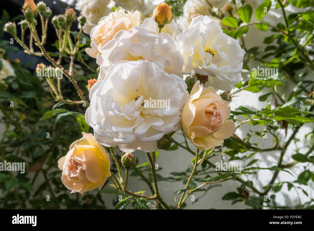 Rose 'Ghislaine de Feligonde', a Musk Rambling Rose. Fragrant semi double white /apricot blooms. In bud and flower. Rosa. - Stock Image