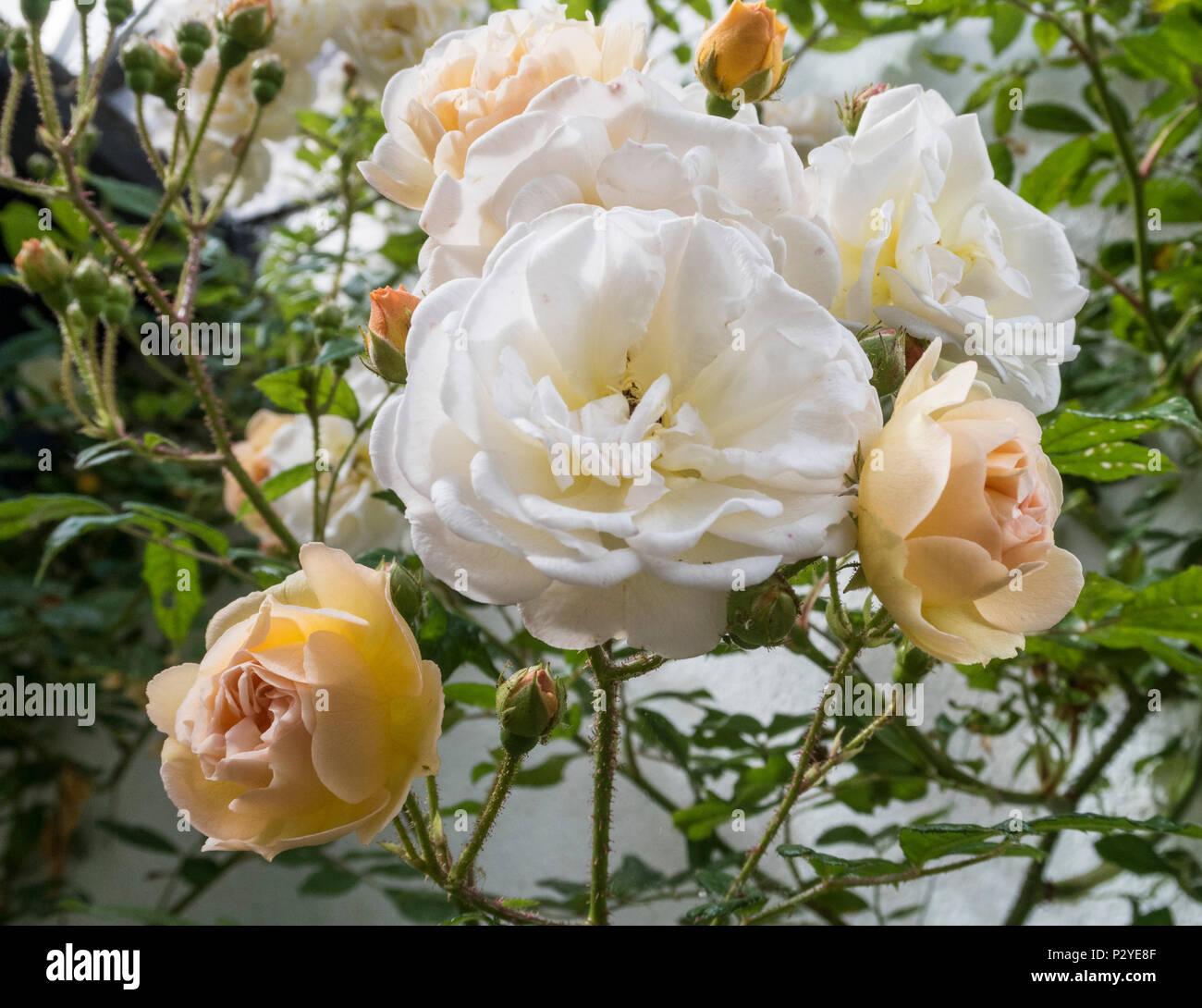 Rose 'Ghislaine de Feligonde', a Musk Rambling Rose. Fragrant semi double white /apricot blooms. In bud and flower. Rosa. - Stock Image