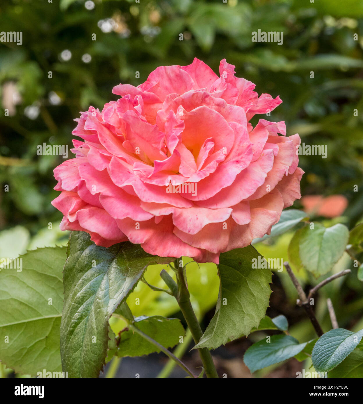 Tatton 'Fryentice',  floribunda rose - Stock Image