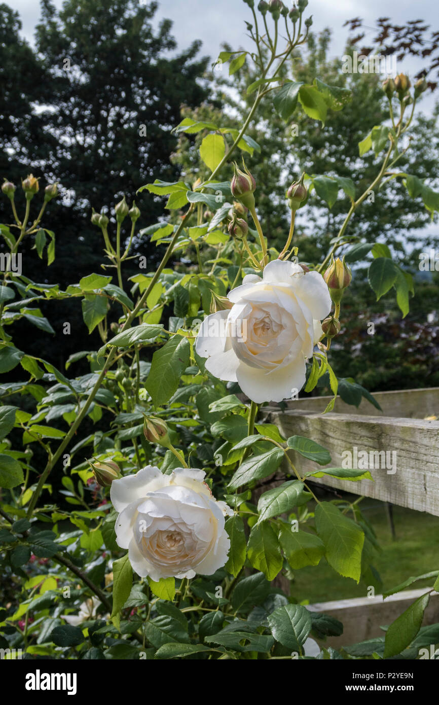 Claire Austin rose, a very popular climbing rose. - Stock Image