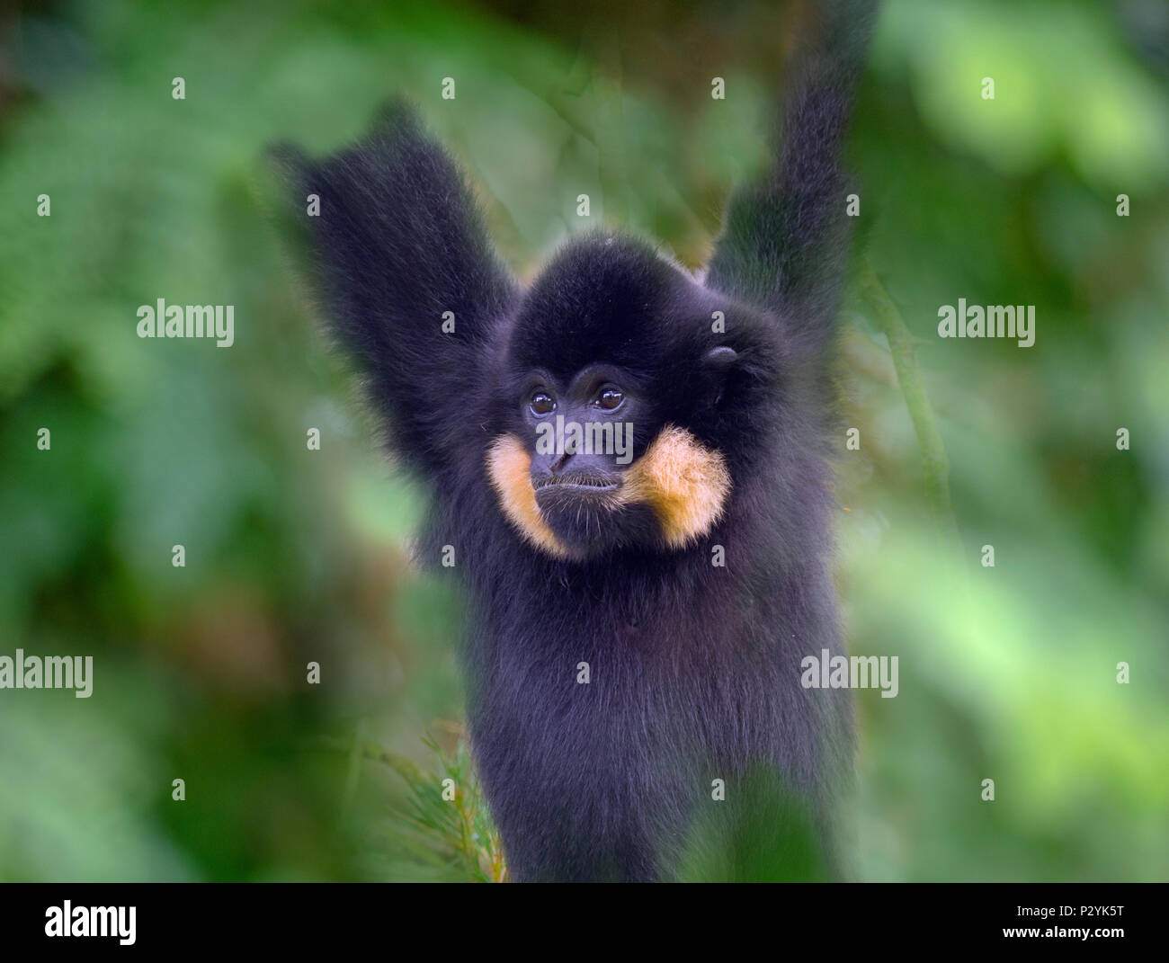 Male Yellow-cheeked gibbon Nomascus gabriellae portrait captive mammal - Stock Image