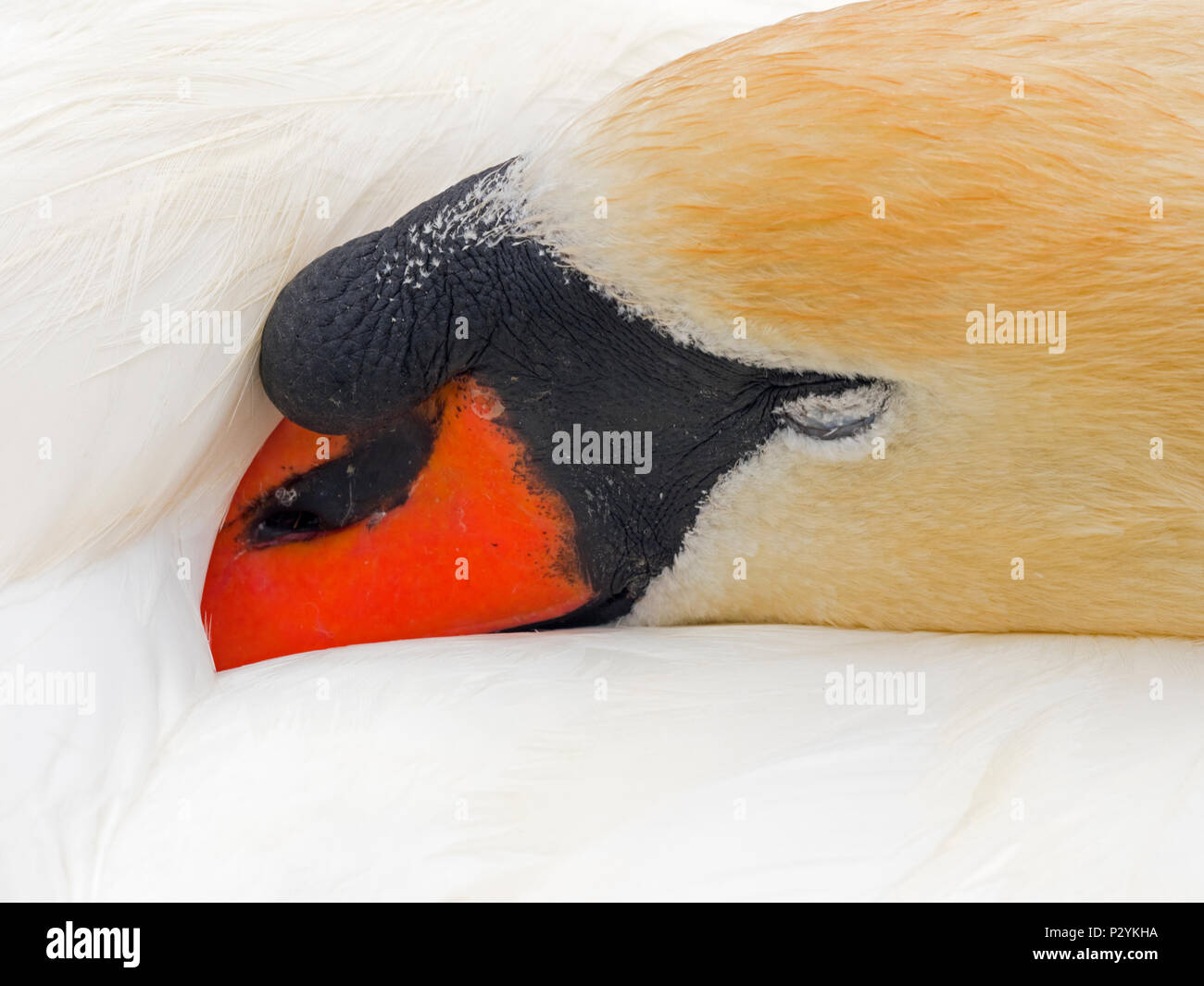 Mute Swan Cygnus olar adult male sleeping - Stock Image