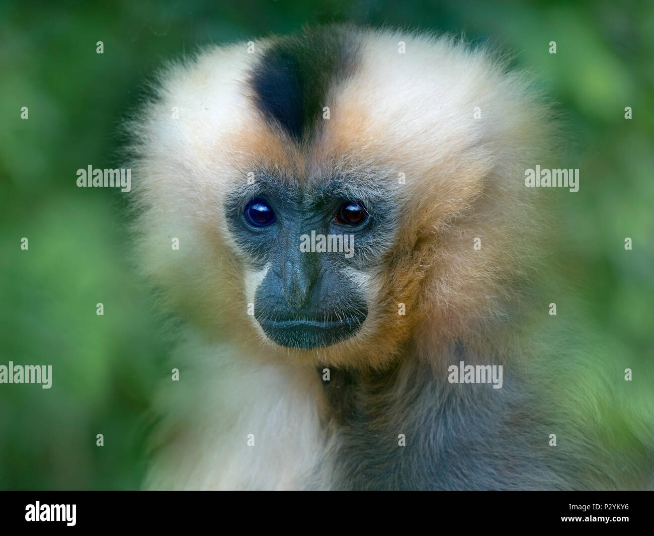 female Yellow-cheeked gibbon Nomascus gabriellae portrait captive mammal - Stock Image