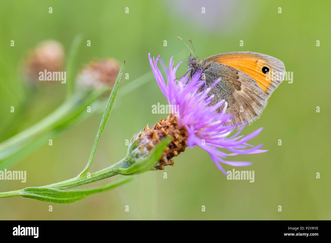 Small Heath - Coenonympha pamphilus, beautiful brown and orange butterfly from Europe and North Africa. - Stock Image