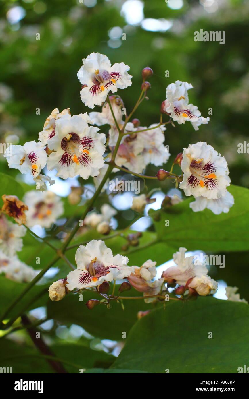 Lavish foxglove tree blossom close up. - Stock Image