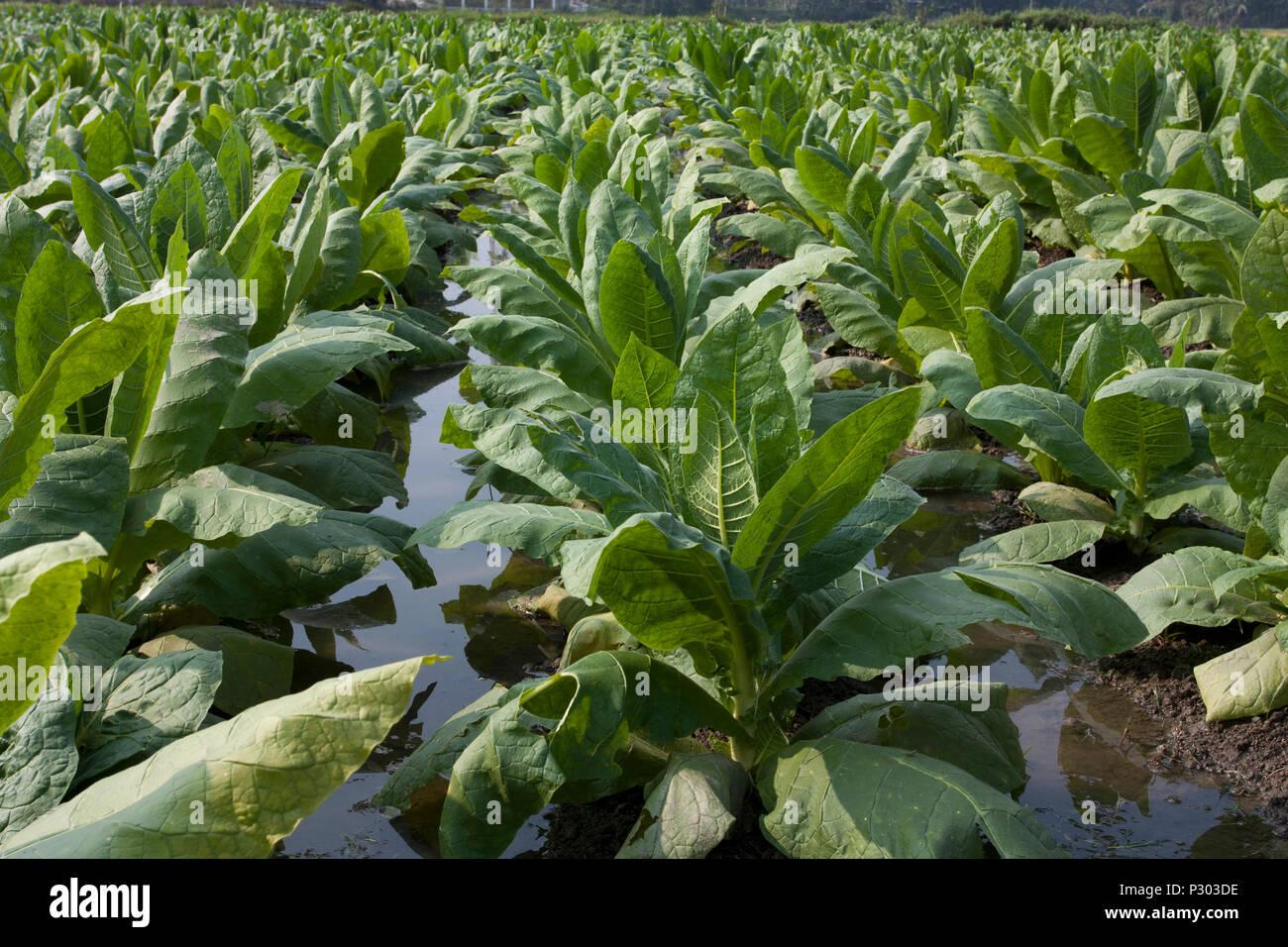 Tobacco plantation in Manikganj. Bangladesh. - Stock Image