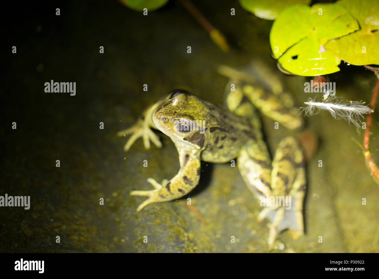 A common frog, Rana temporaria, on the edge of a garden pond photographed at night. Lancashire North West England UK GB - Stock Image