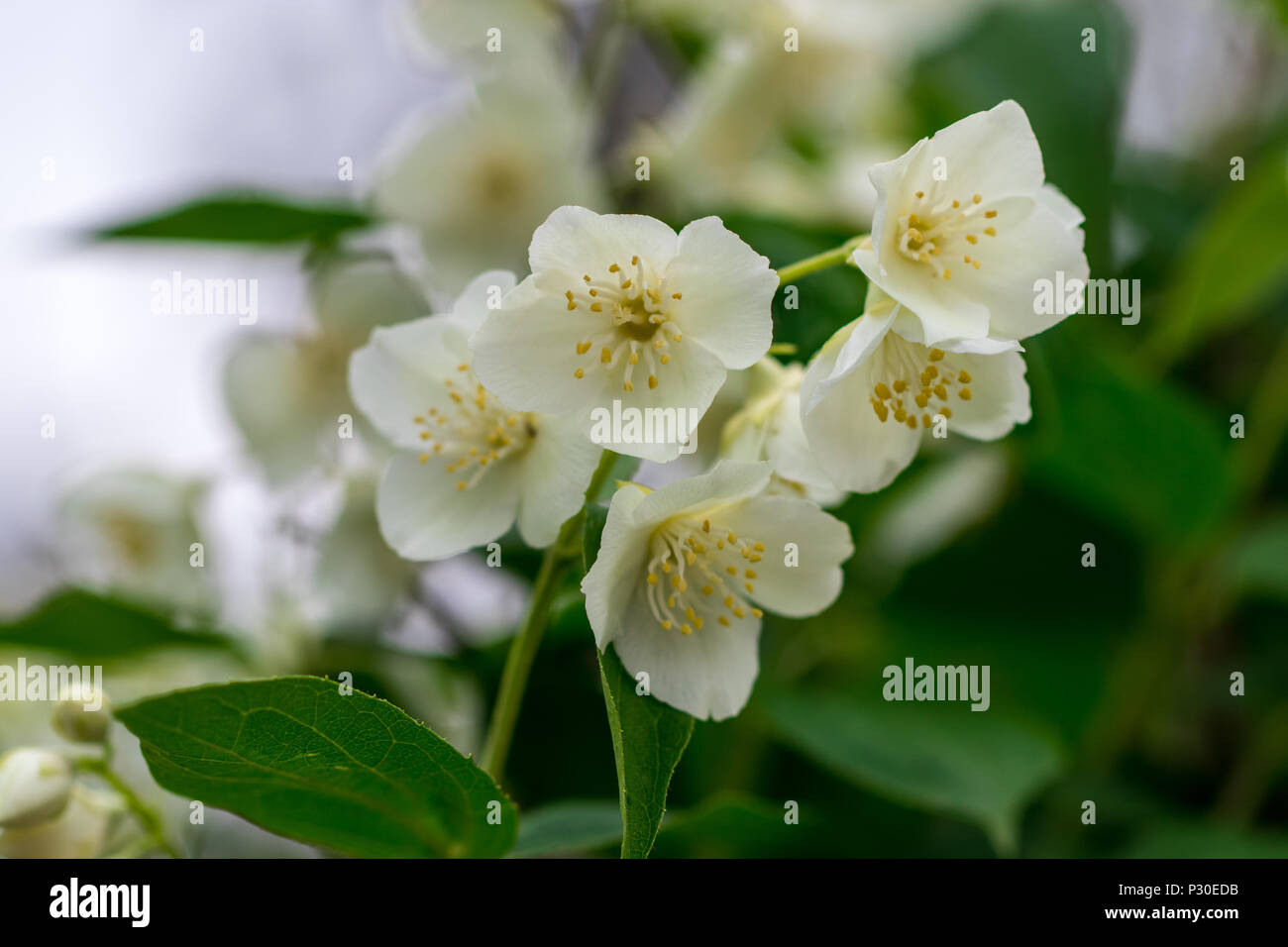 Close Up Of Jasmine Flowers In A Garden Stock Photo 208379735 Alamy