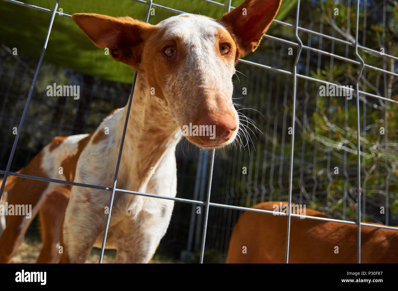 An Ibizan Hound sticking his head out through a fence in Formentera (Balearic Islands, Spain) - Stock Image