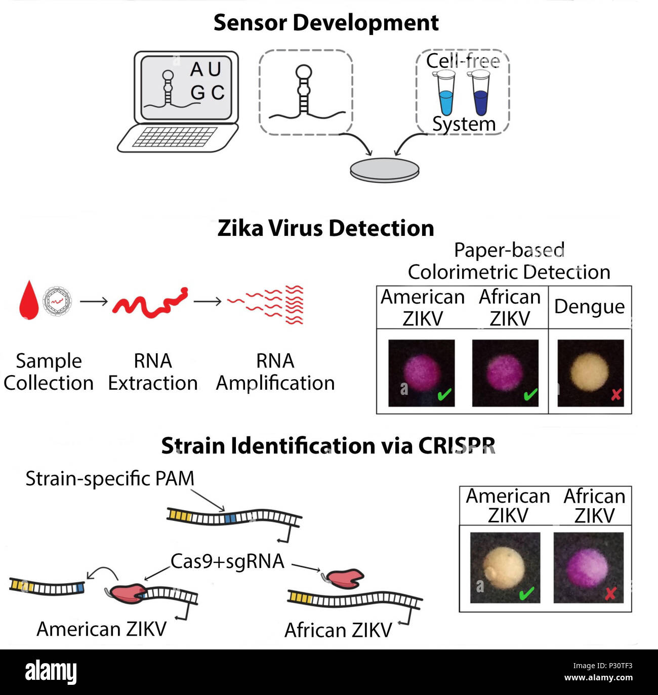 The rapid design, assembly and validation of paper-based biomolecular sensors for the  portable detection of Zika virus is shown here. Using sequence information from online databases, primers for isothermal RNA amplification and toehold switch-based RNA sensors are designed in silico using algorithms. Sensors are embedded into paper discs and freeze-dried along with a cell-free transcription and translation system, to be deployed in the field as colorimetric diagnostics. In the diagnostic test, viral RNA is extracted, isothermally amplified, and used to rehydrate the freeze-dried sensors, res - Stock Image
