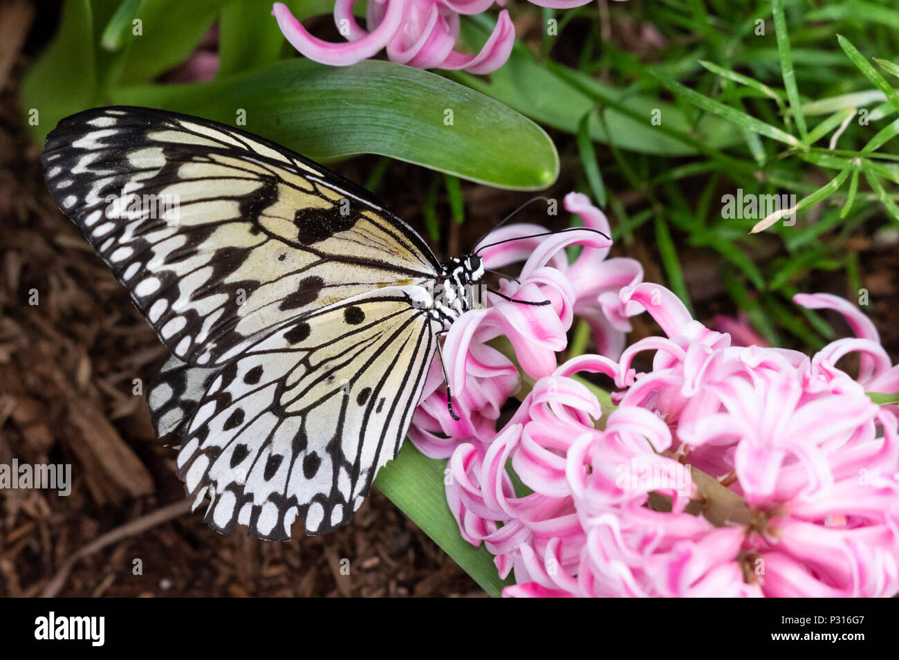 Idea Leuconoe butterfly (large tree nymph, rice paper, paper kite) sitting and eating on a pink hyacinth flower - Stock Image