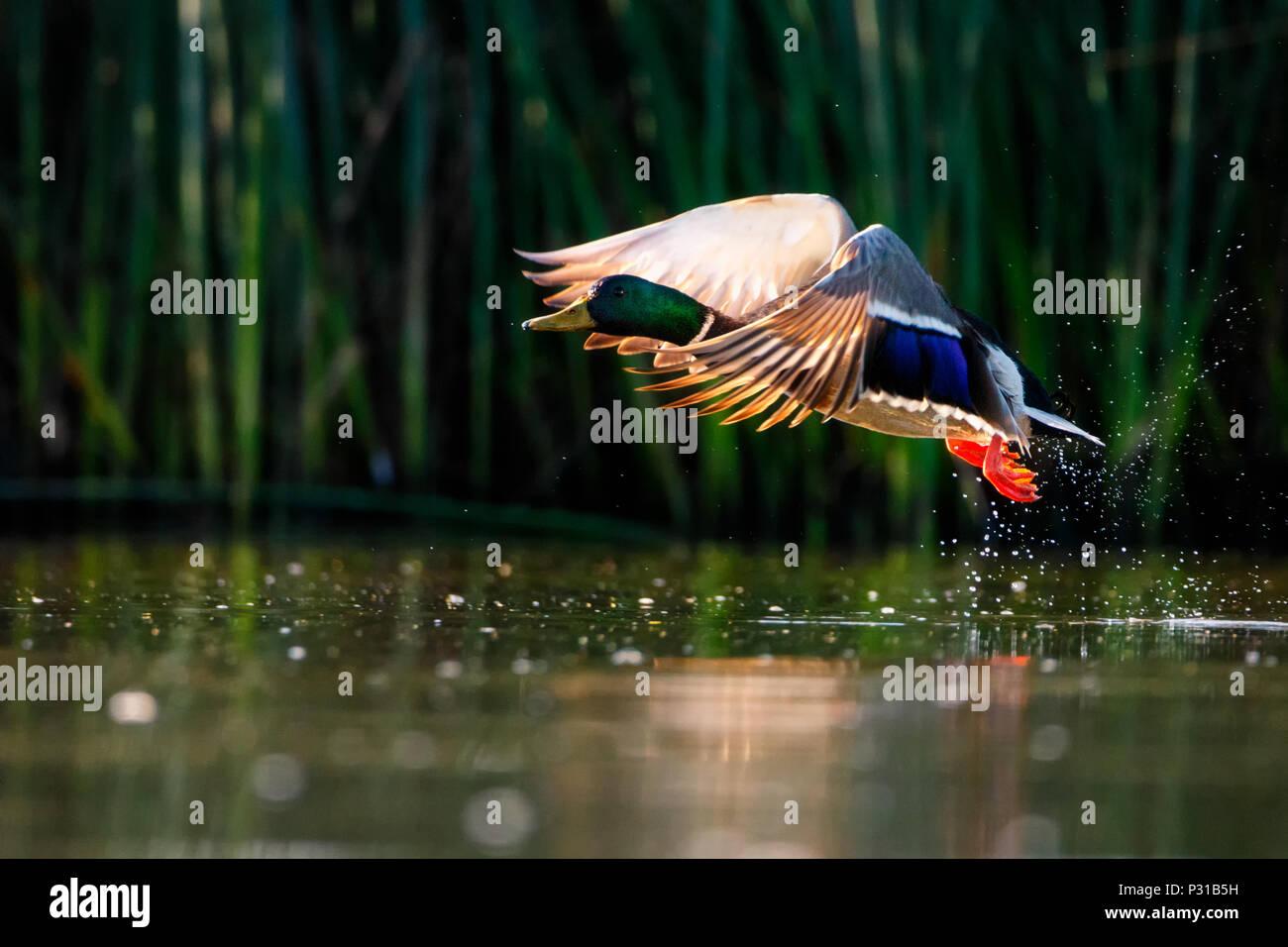 Mallard Taking Flight - Stock Image
