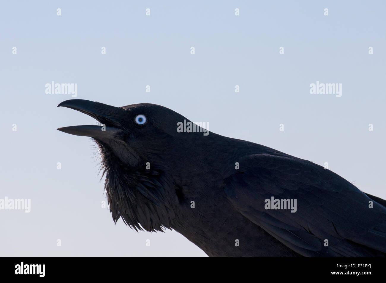 Australian Raven - Stock Image