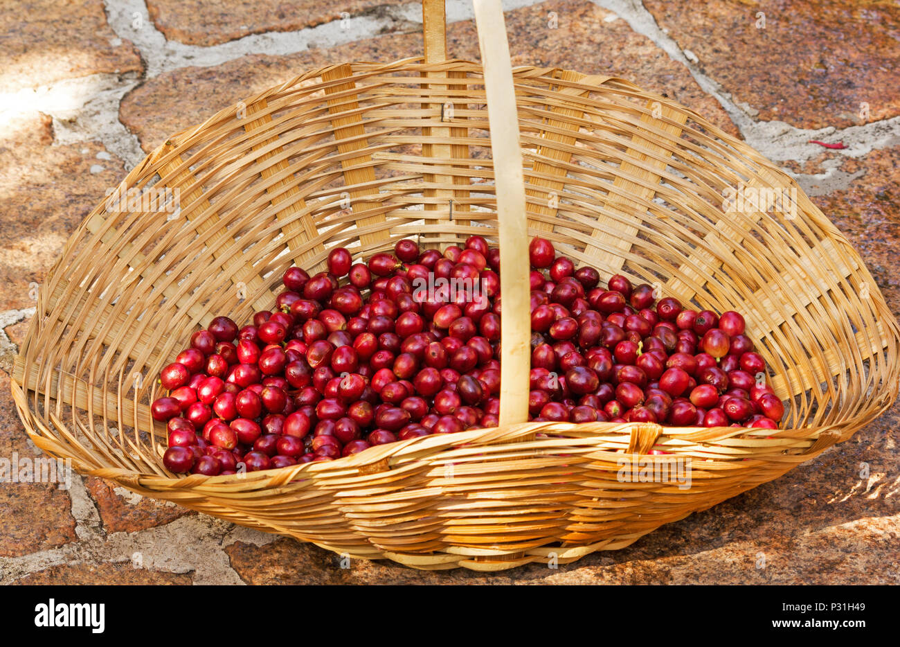 Selected ripe coffee beans in a basket - Stock Image