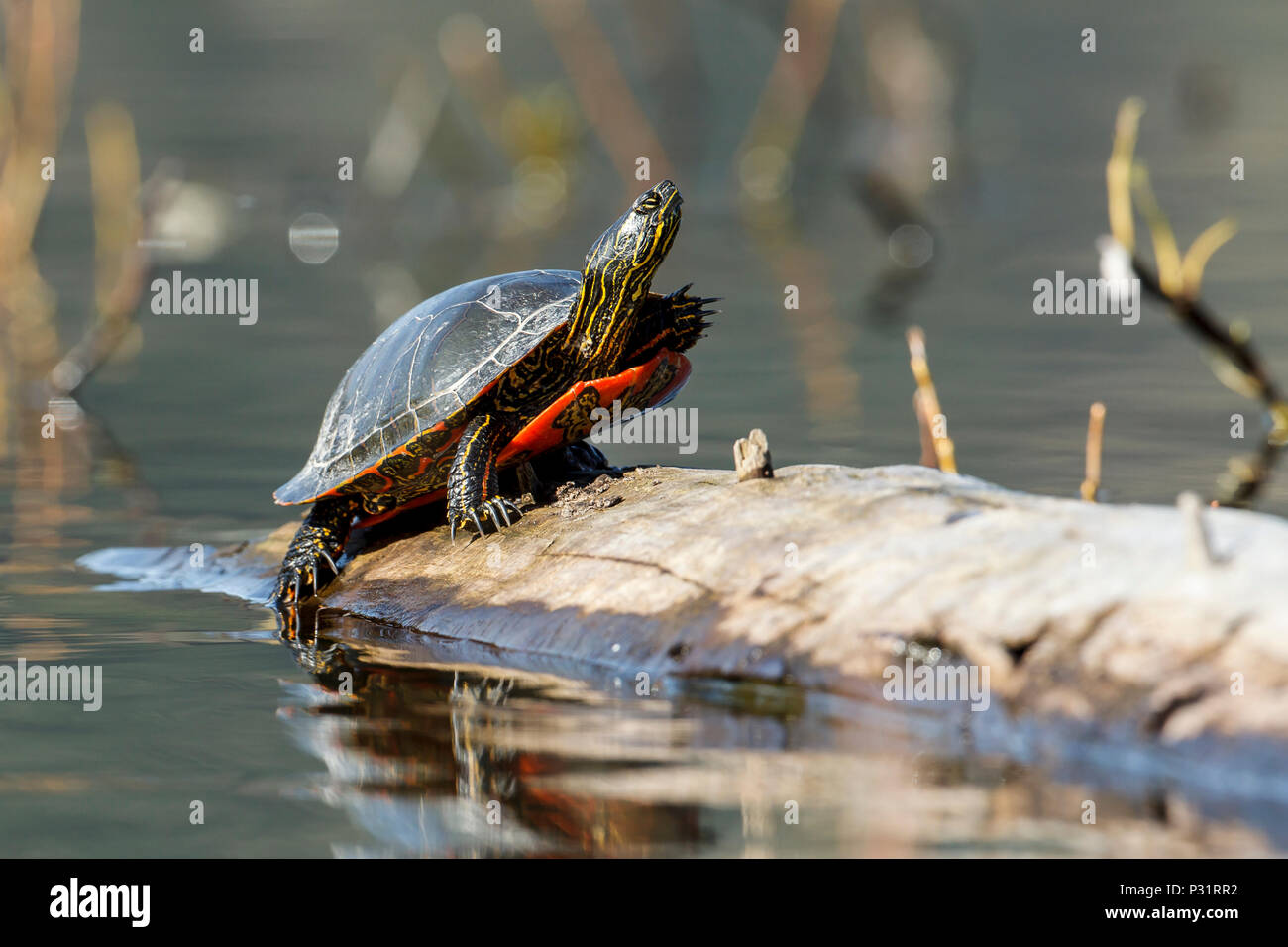 An America Painted turtle (chrysemys picta) basks in the sun on a log on Fernan Lake in Idaho. - Stock Image