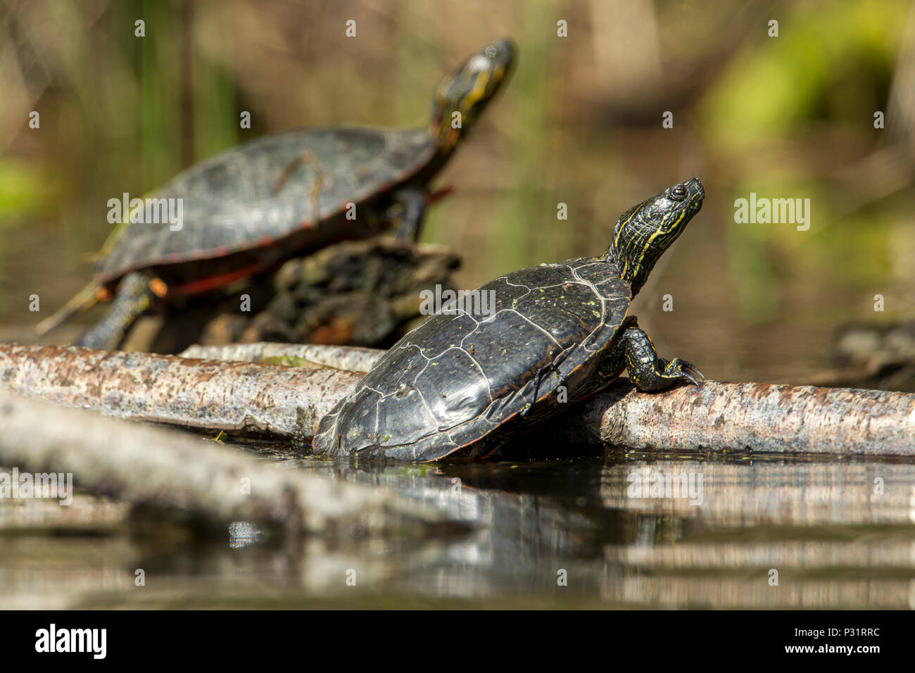 Two America Painted turtles (chrysemys picta) bask in the sun on a log on Fernan Lake in Idaho. - Stock Image
