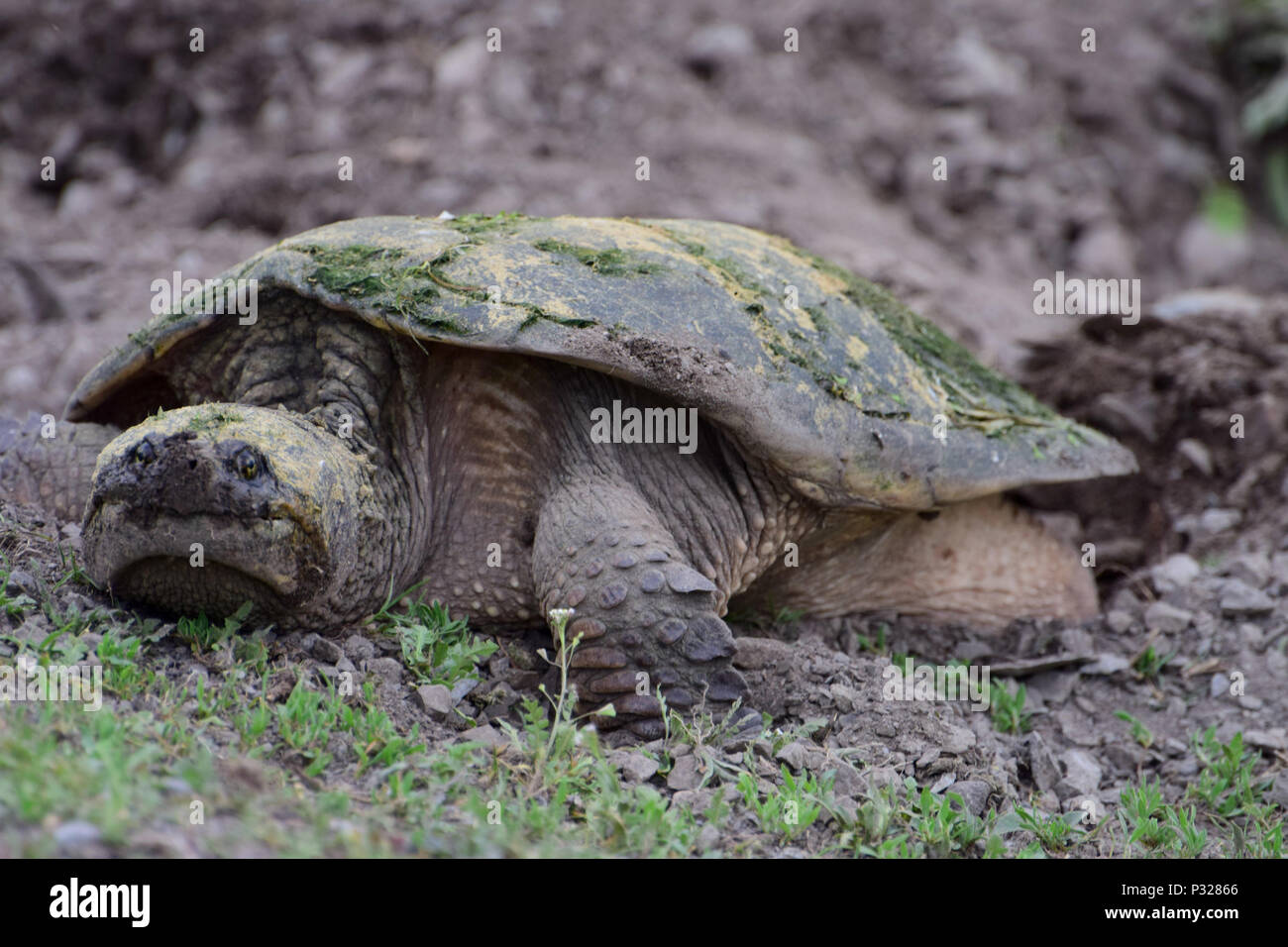 Snapping turtle on the roadside Stock Photo