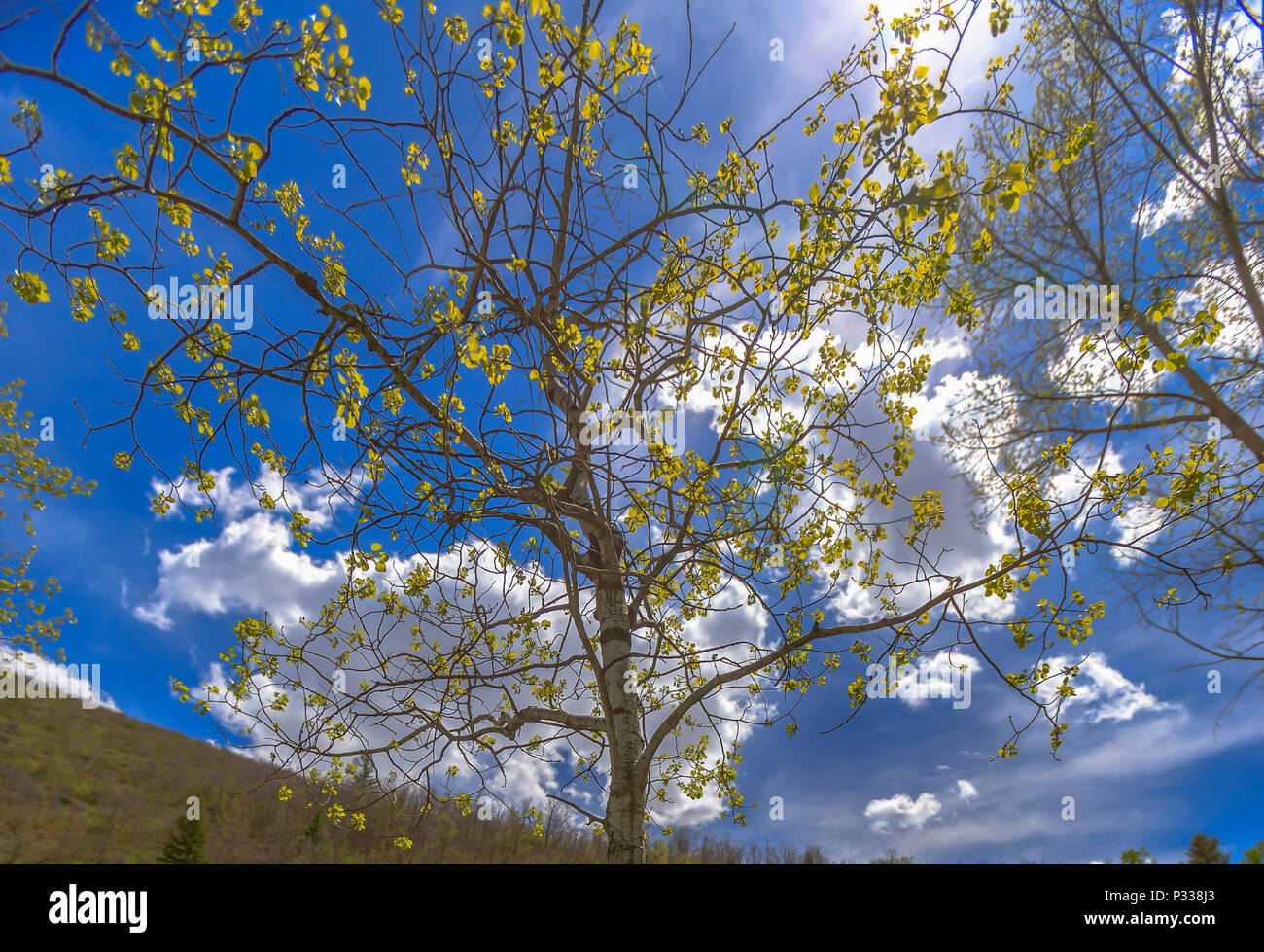 The Utah State Tree Quaking Aspen On A Hike In Big Springs Park Provo Stock Photo Alamy
