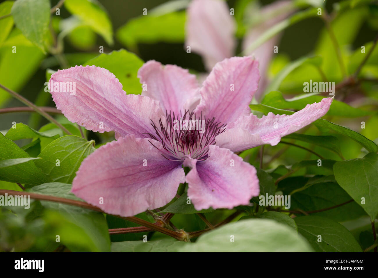 Hybrid clematis Hagley Hybrid growing in a garden in Lancashire North West England UK GB. - Stock Image