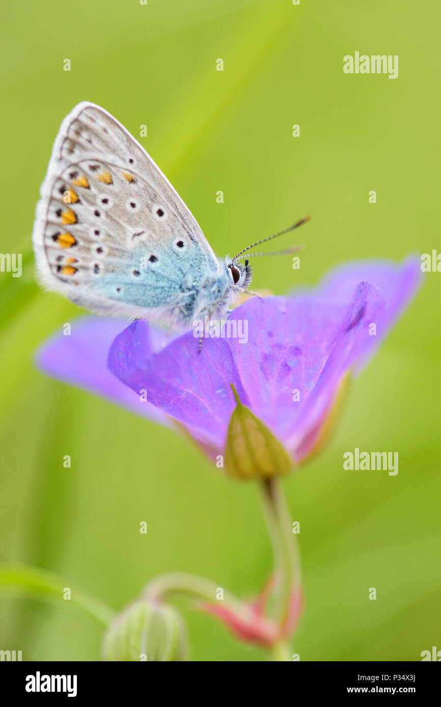 Geranium Argus - Aricia eumedon, beautiful small blue butterfly from European meadows. - Stock Image