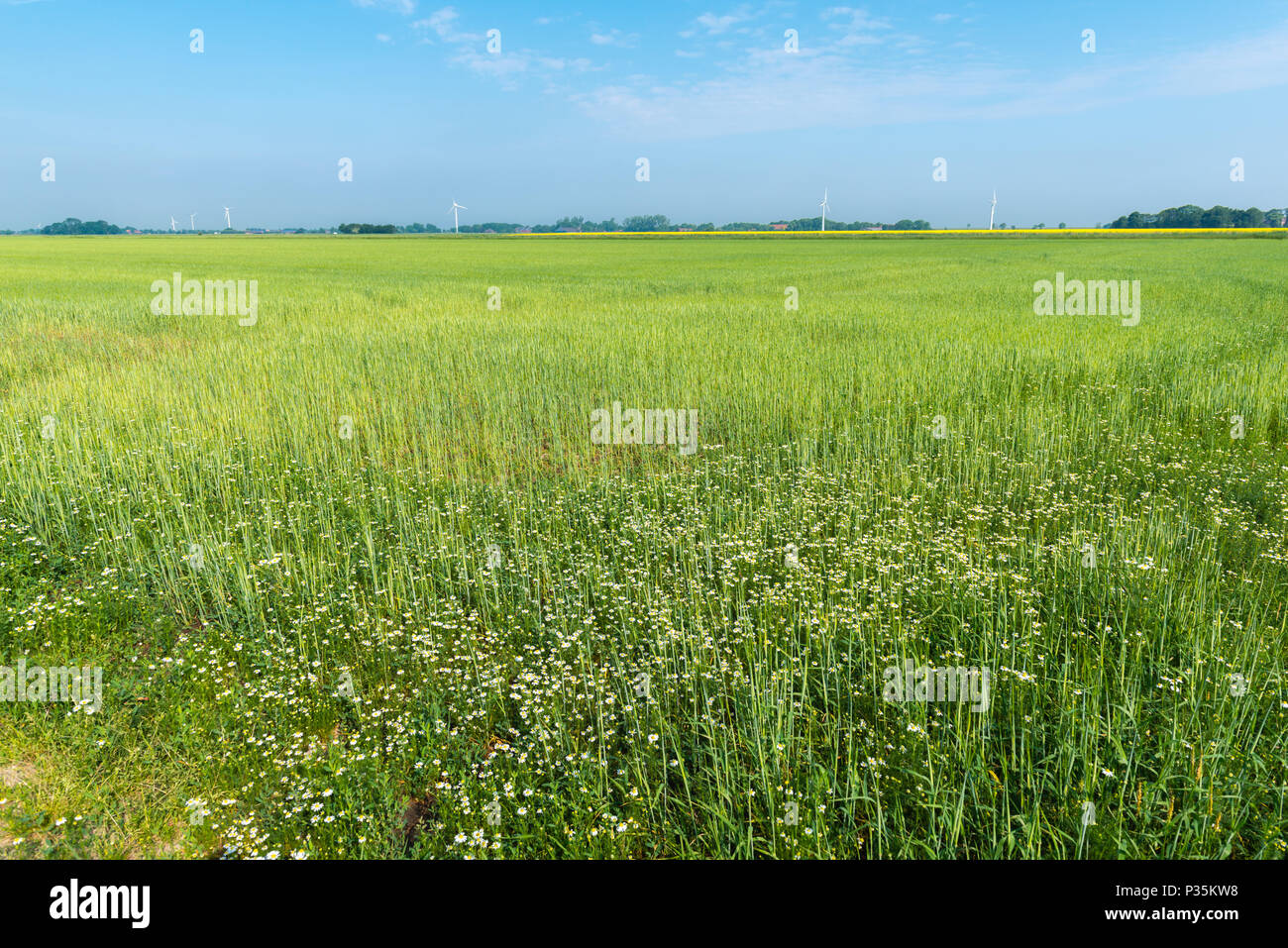 Landscape of agricultural East Frisia, Lower Saxony, Germany - Stock Image