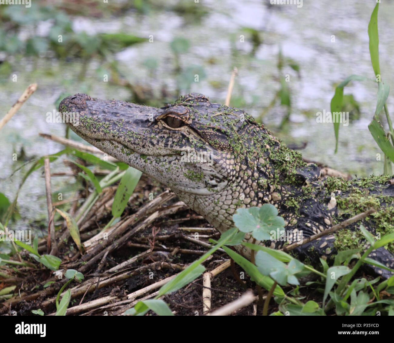 Calm Alligator surveying the swampy waters - Stock Image