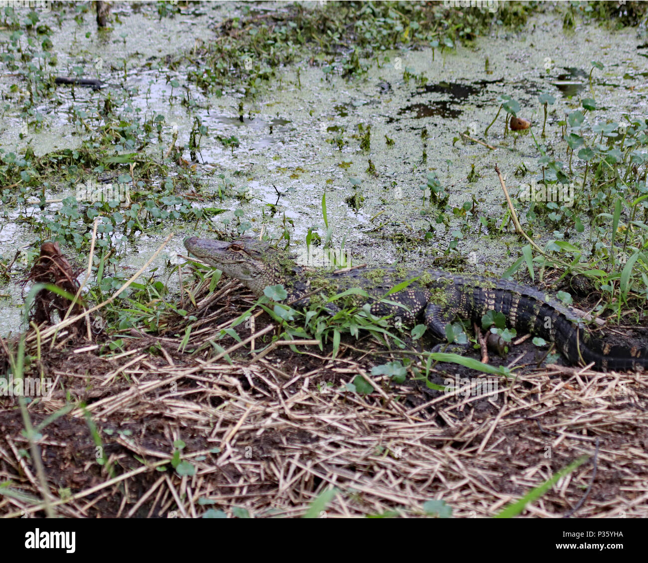 Alligator hidden along the edge of a swamp in central Florida - Stock Image